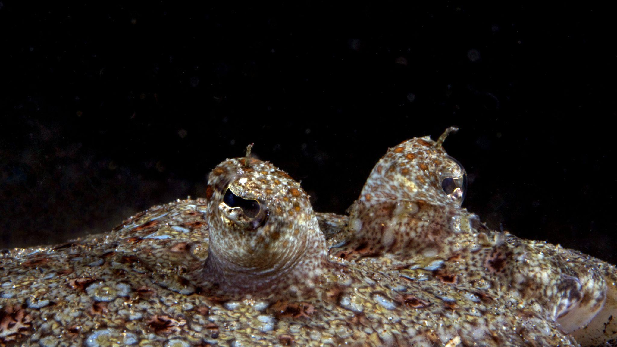 flounder-eyes