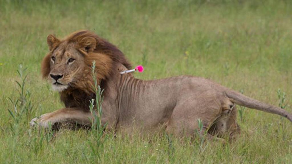 lioness_1024x576