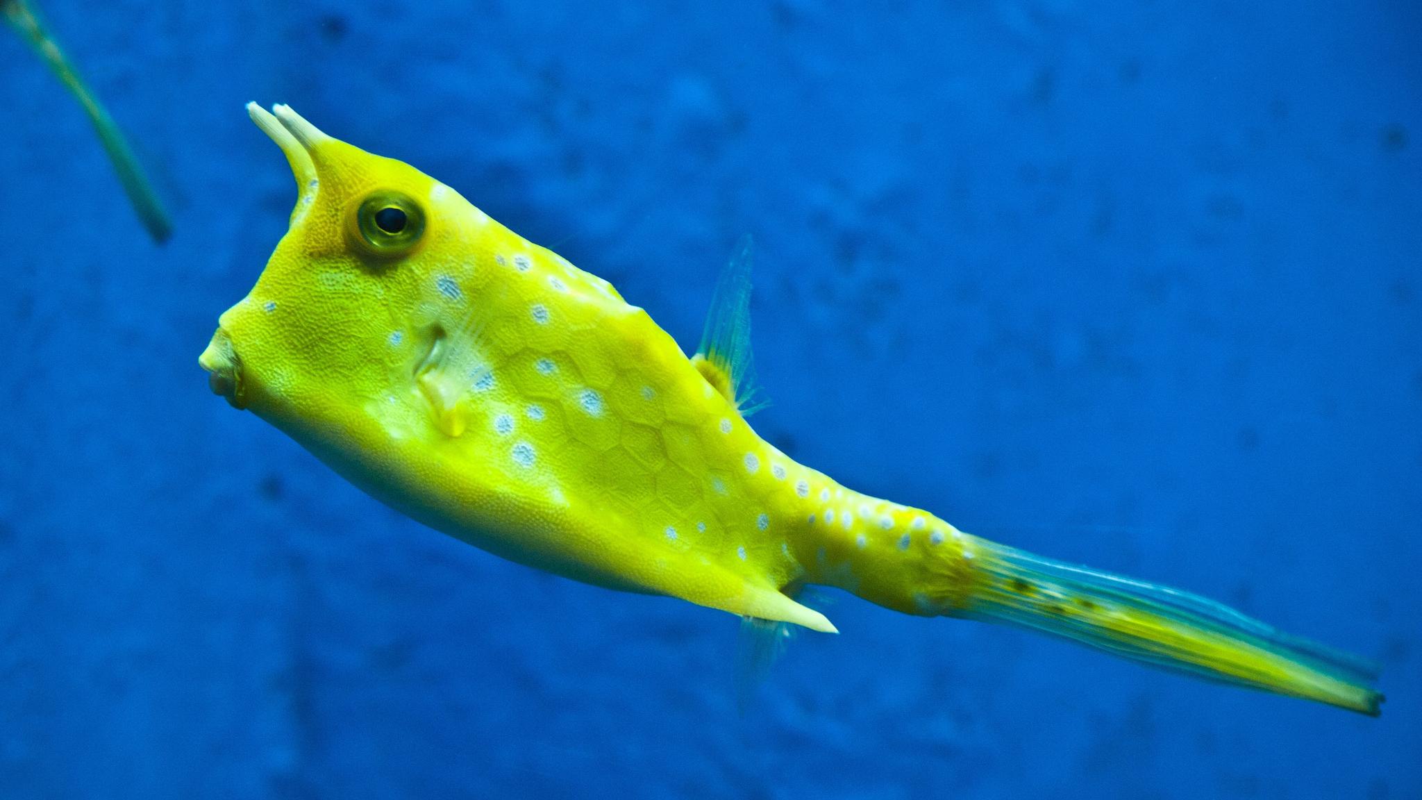 longhorn-cowfish_2048x1152