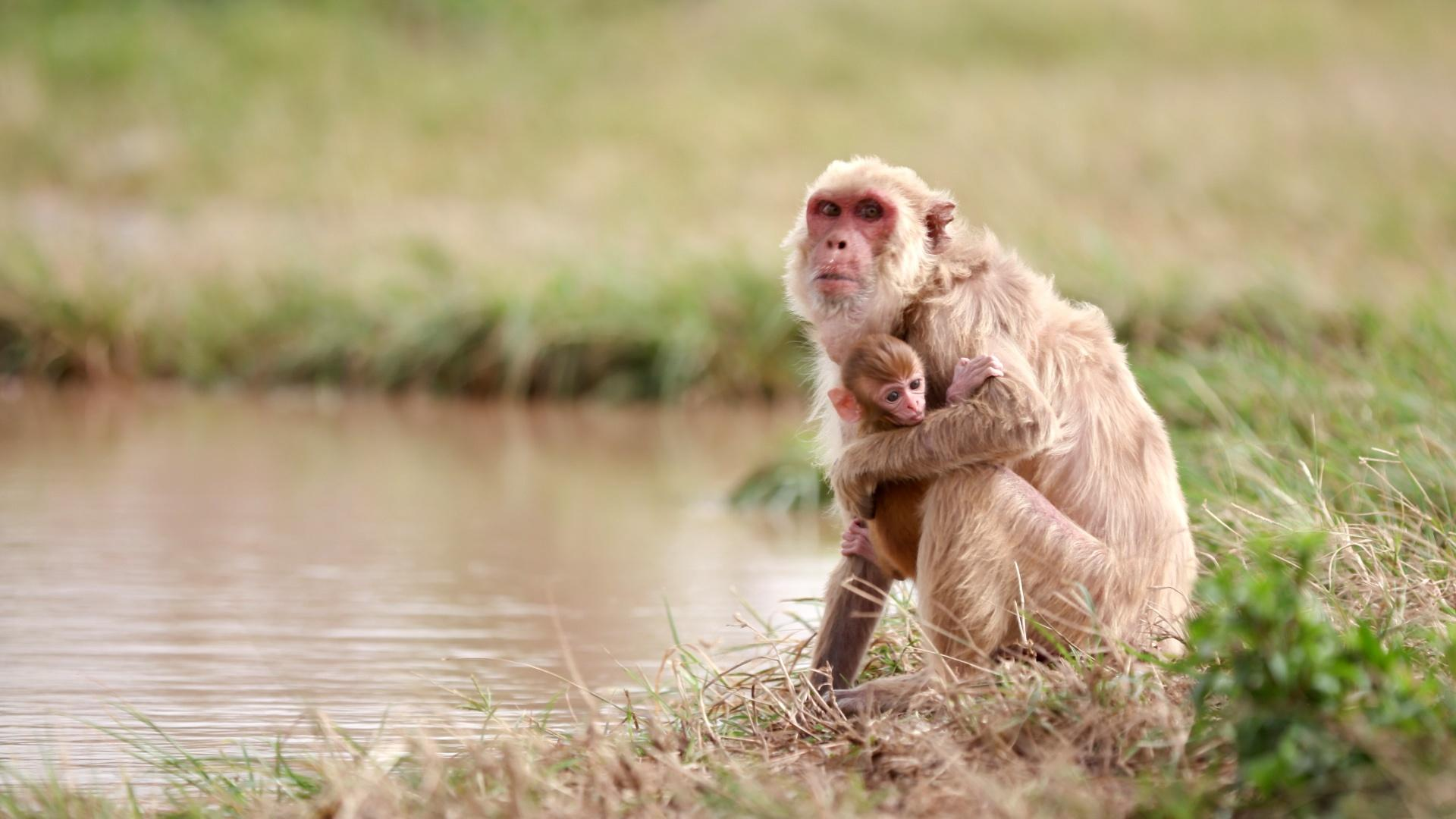 Macaque Monkeys Adapt After Hurricane Maria Hero