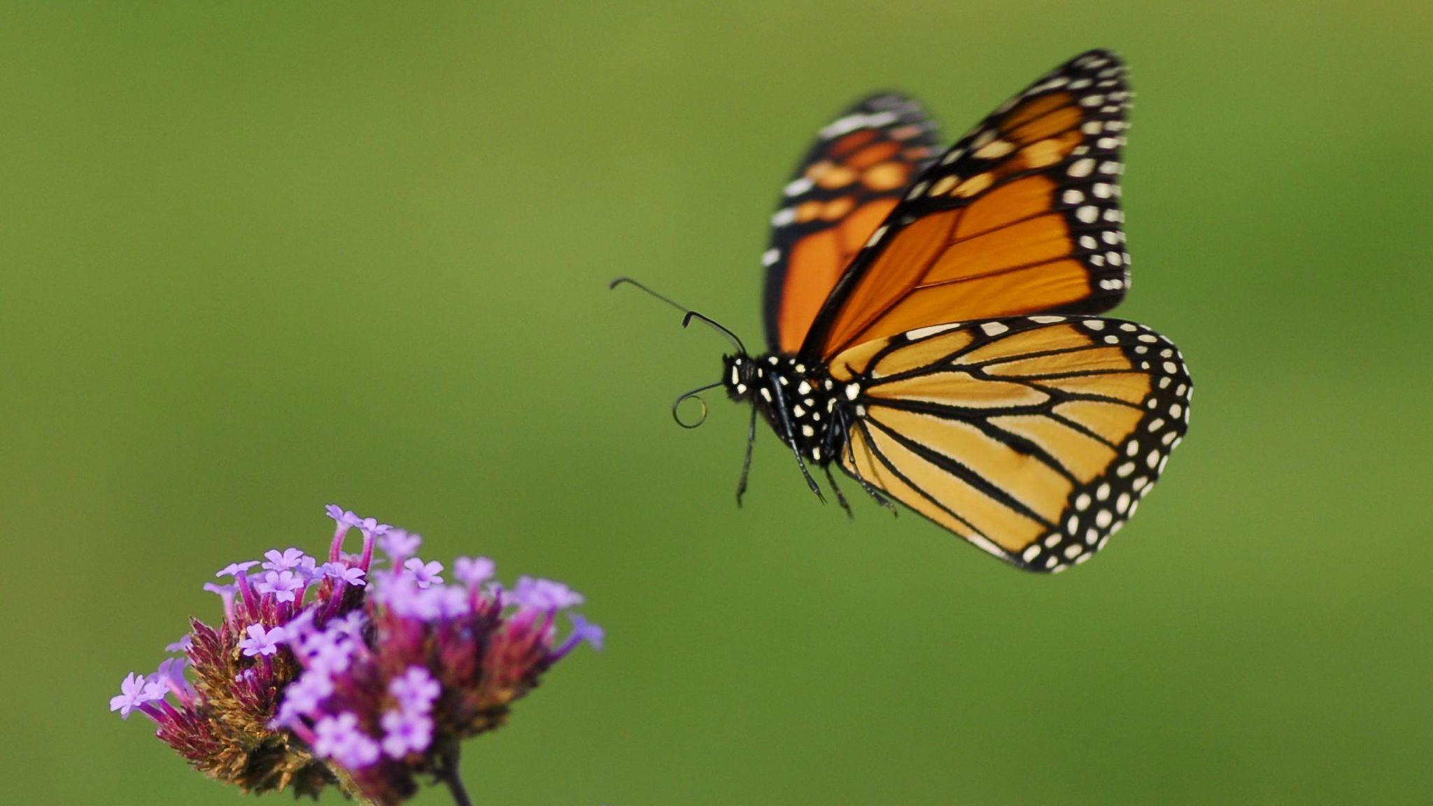 monarch-in-flight