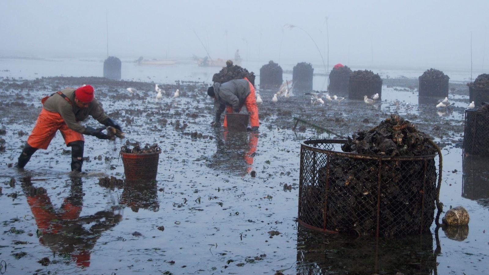 oyster-harvest