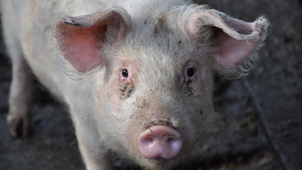 pig-cropped_1024x576