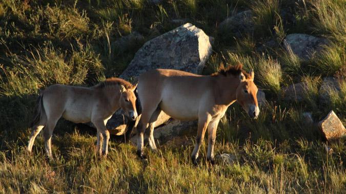 Saving the World's Only True Wild Horses