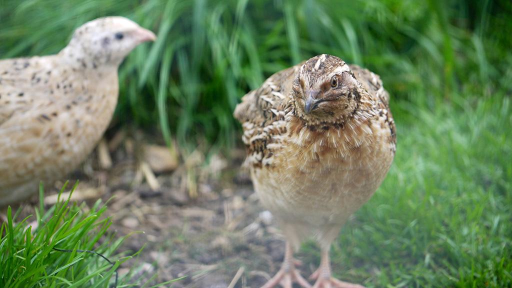 quail-bonding_1024x576