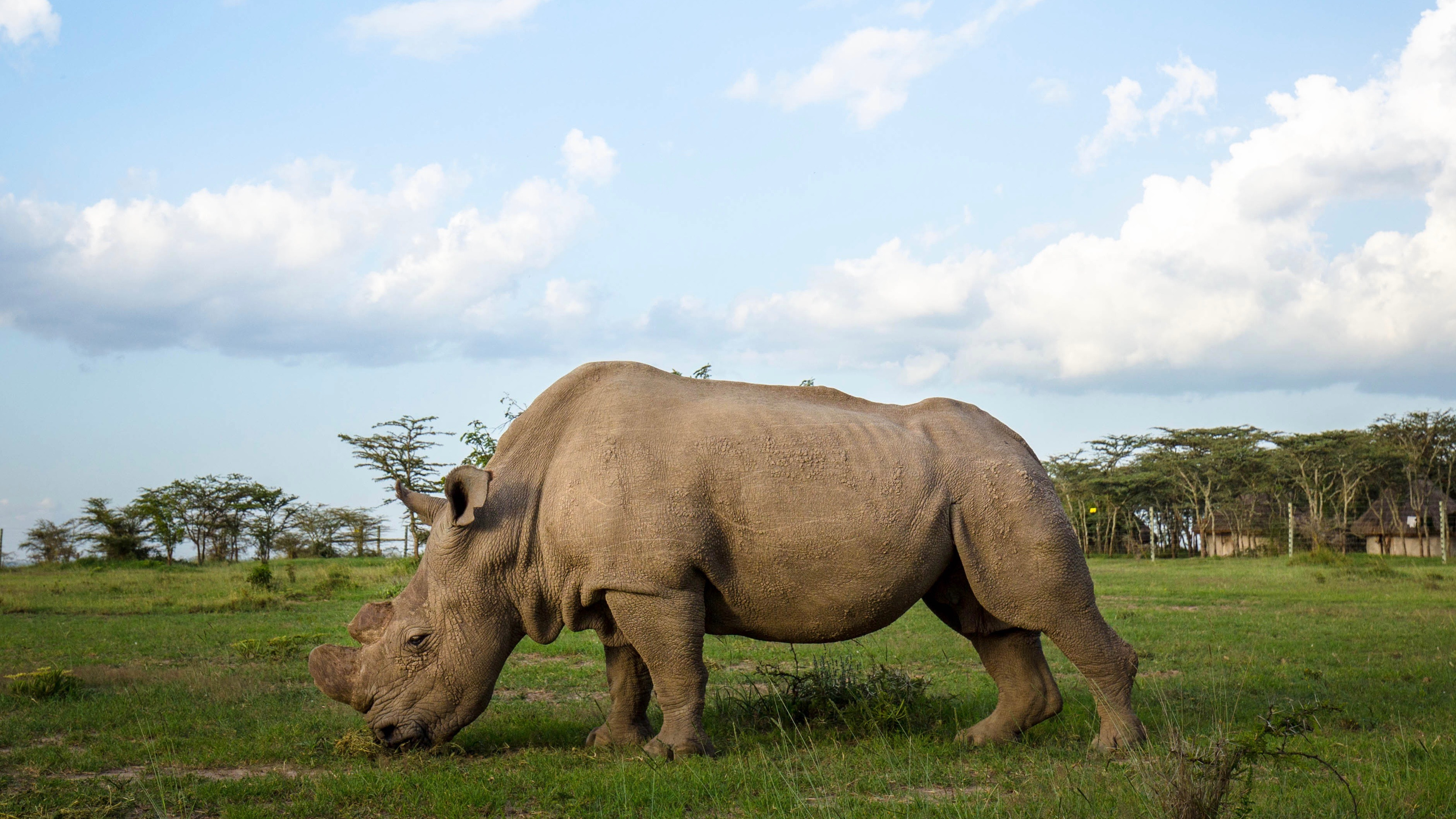 Last Male Northern White Rhino Dies | NOVA | PBS