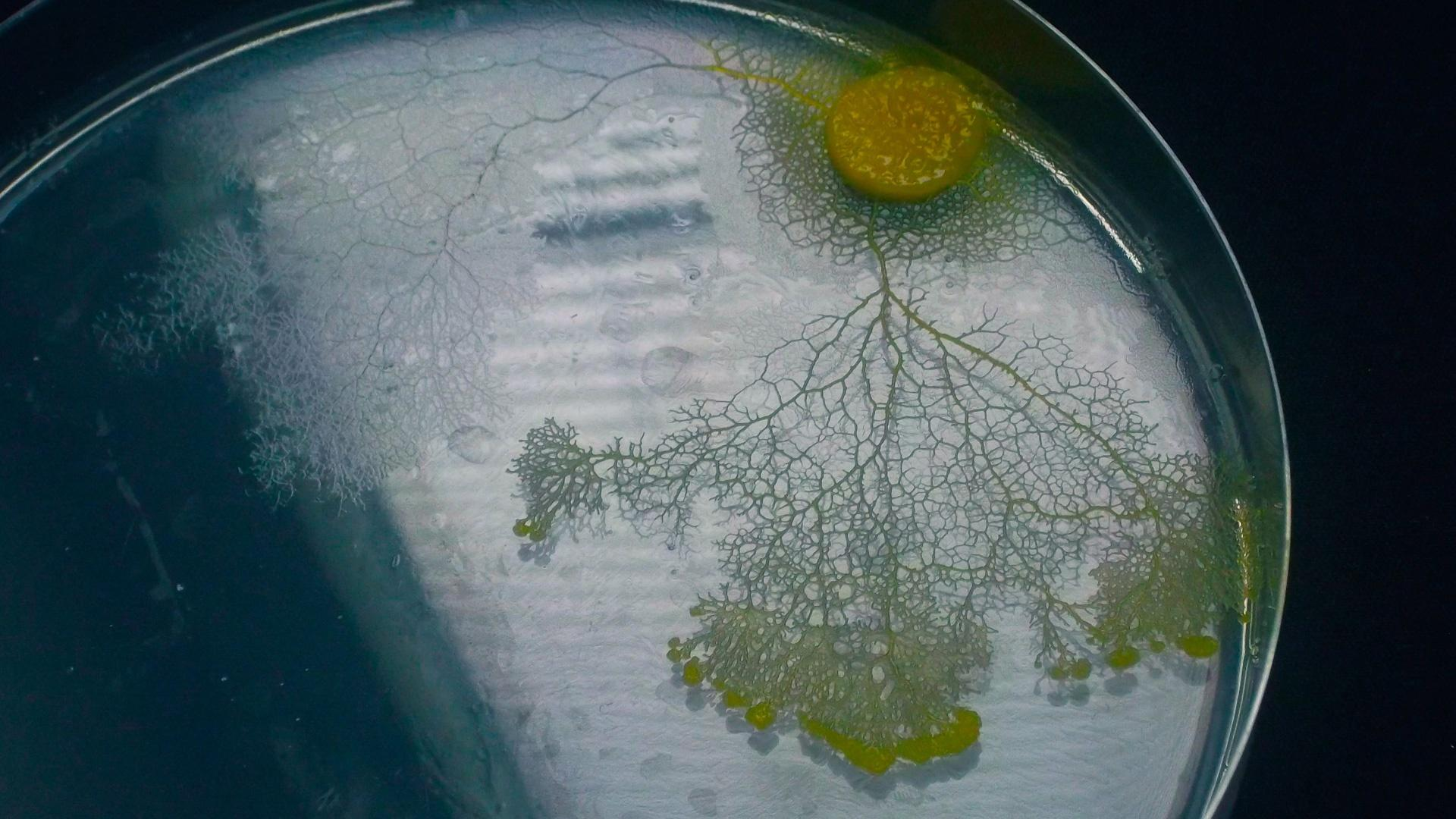 Slime Mold Smarts Hero
