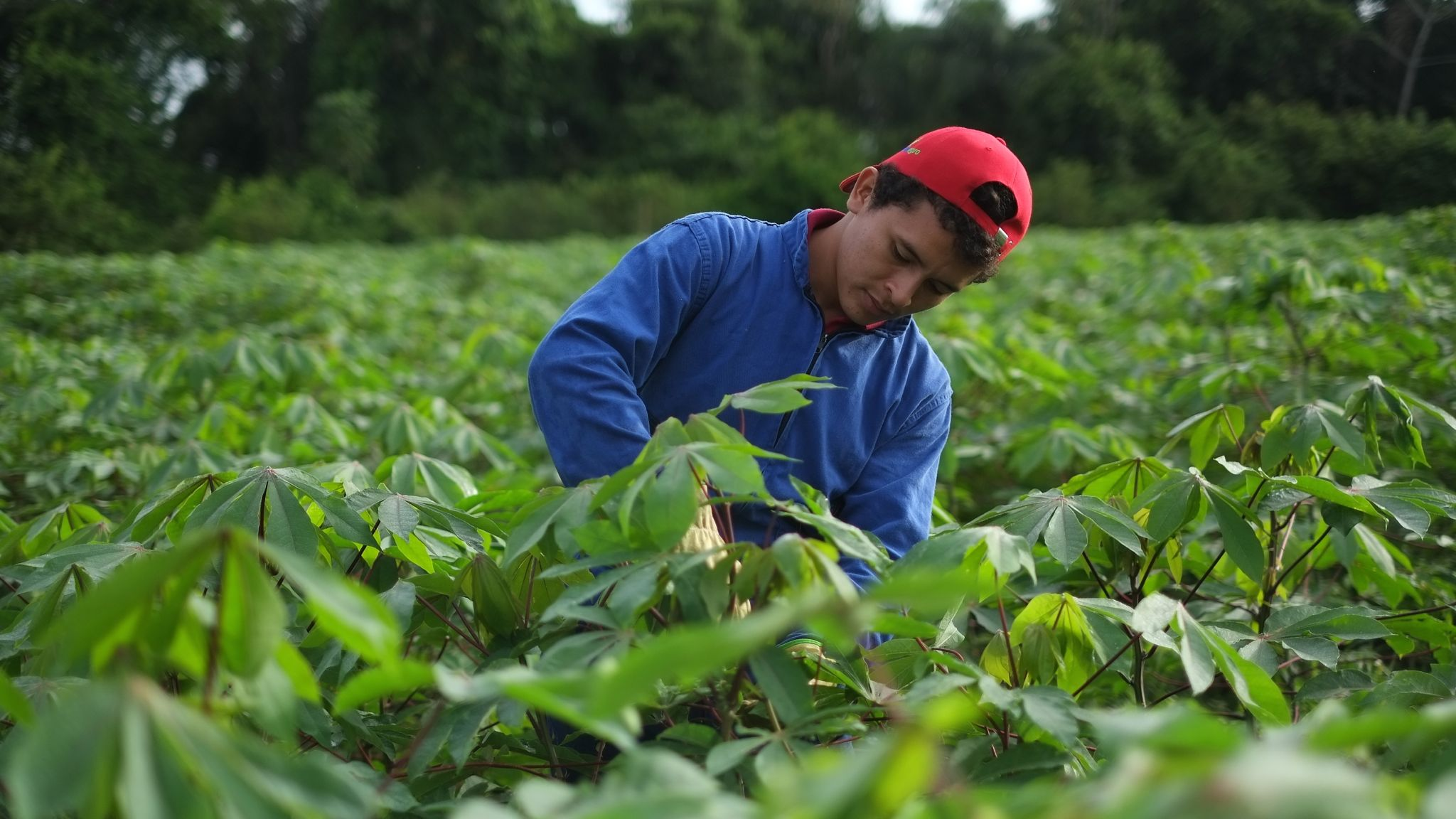 tending-cassava