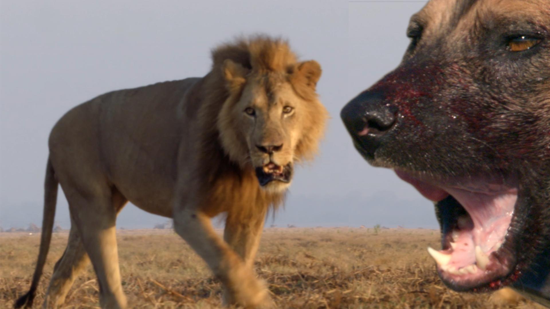 The Anatomy of an African Wild Dog Hunt Hero