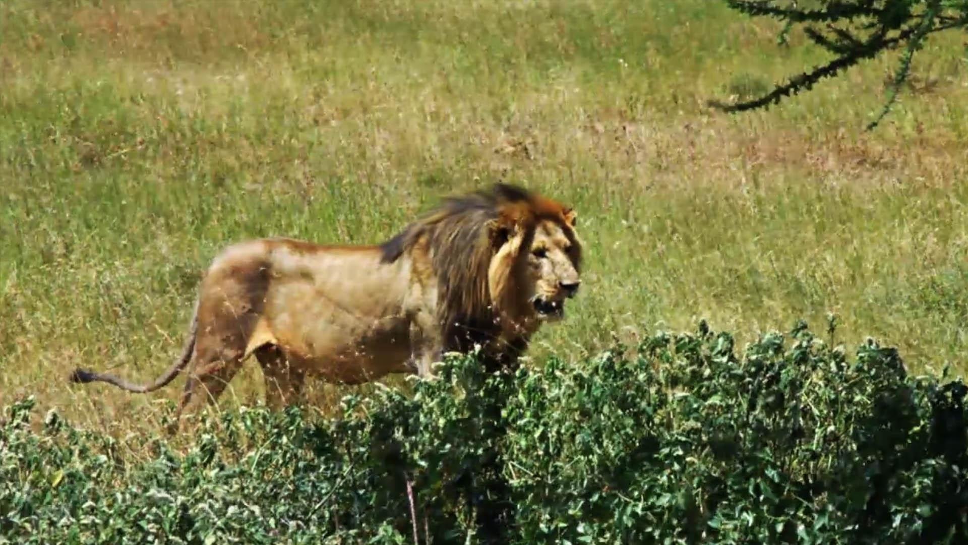 The Serengeti Lion Project Hero
