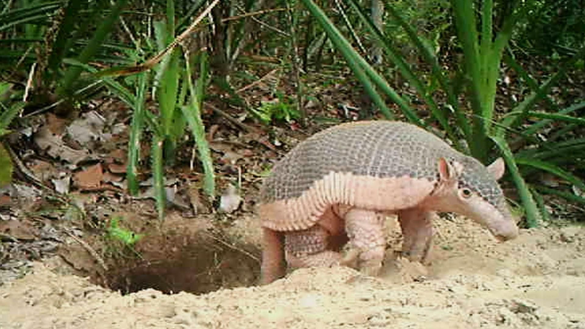 This Little Armadillo Was a Big Ambassador for His Species Hero