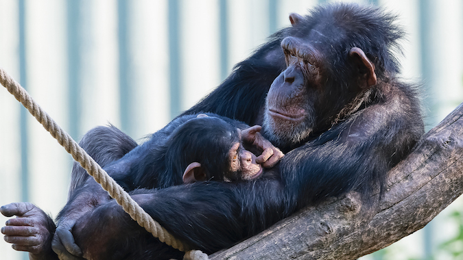 to communicate with apes we must do it on their terms nova pbs