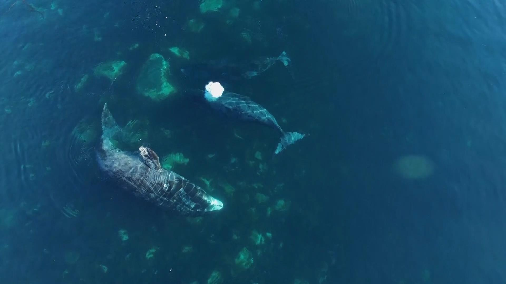 Using Drones to Solve 170-Year Bowhead Whale Mystery Hero