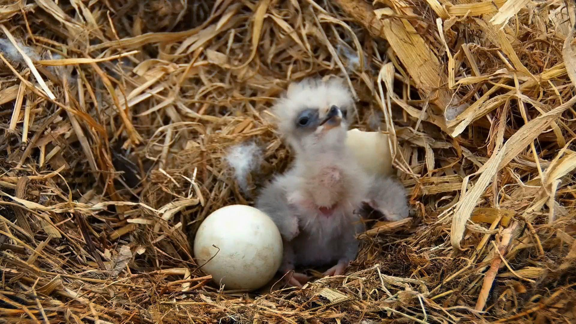 Watch Baby Eagles Hatch and Grow Hero