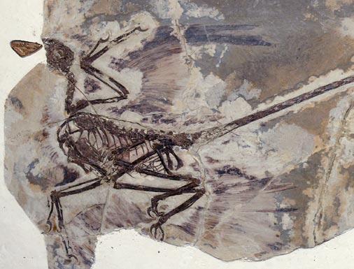 Four-winged dinosaur