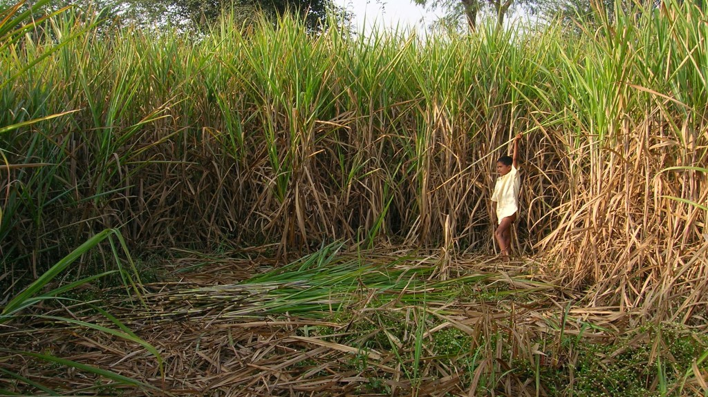 Boy in a sugarcane field