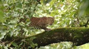 leopard-on-tree