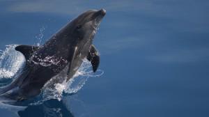 breaching-dolphin
