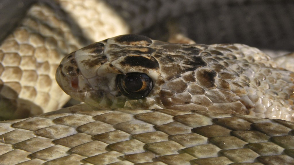 coachwhip-snake