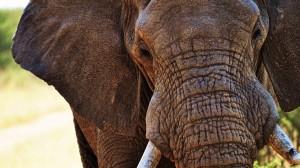 elephant-pointing