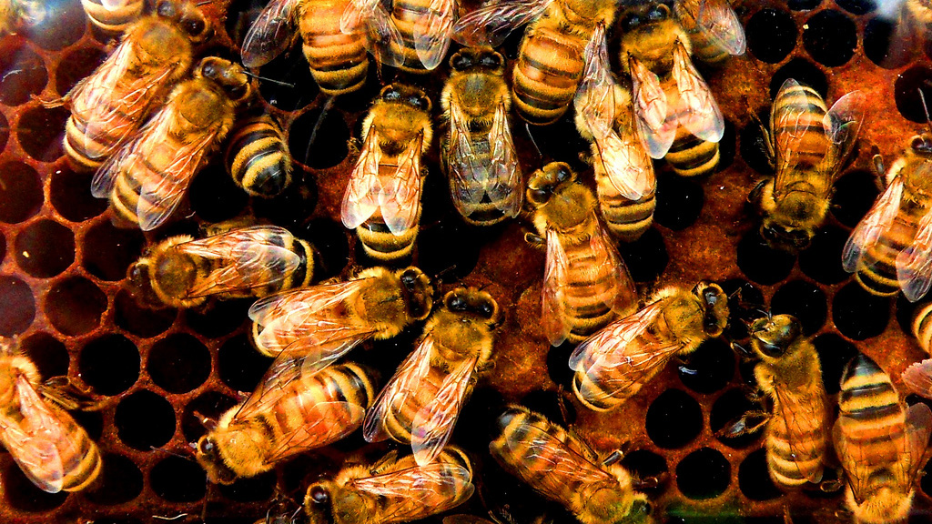 Intraspecies Virus a Possible Colony Collapse Culprit — NOVA Next | PBS