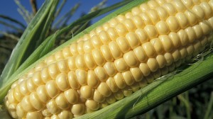 ear-of-corn