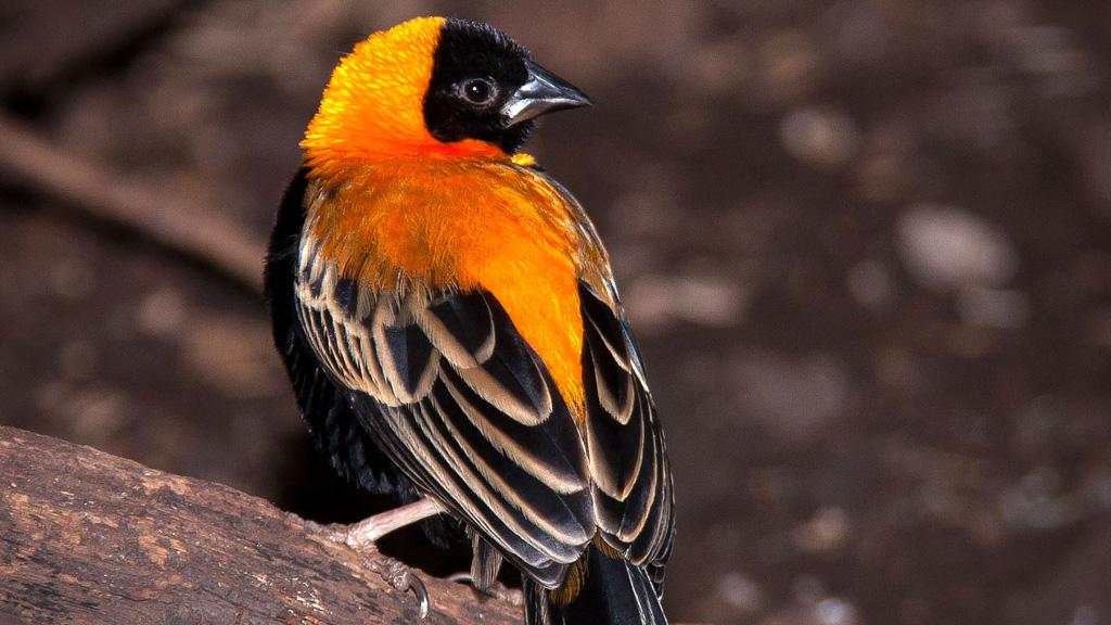 orange-bird