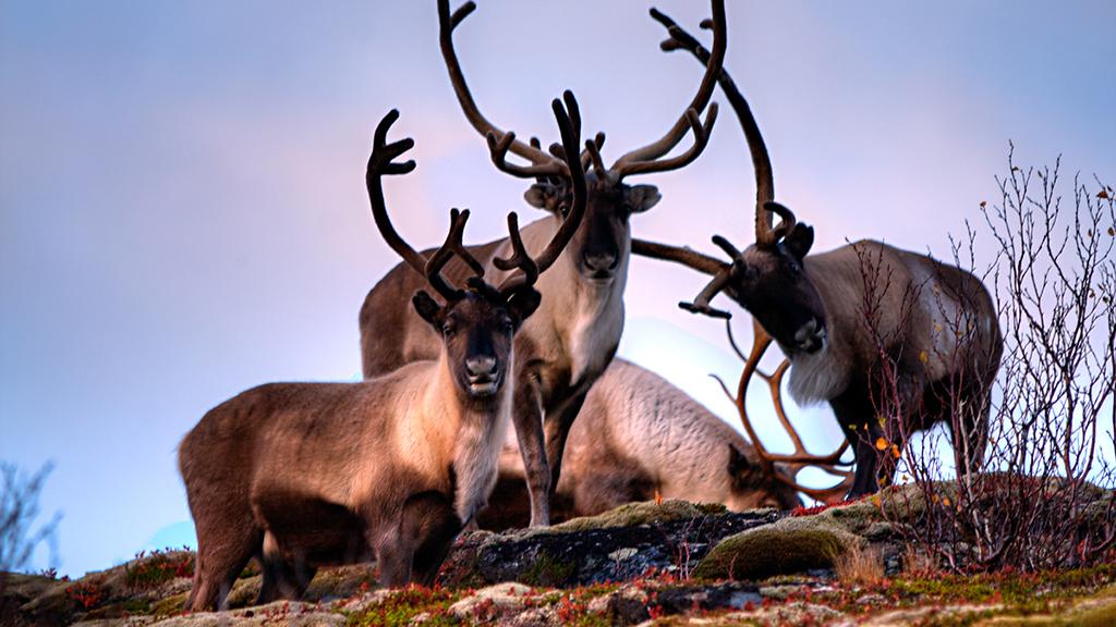 Nathanael Boehm | Reindeer | Flickr | CC