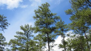 loblolly-pine