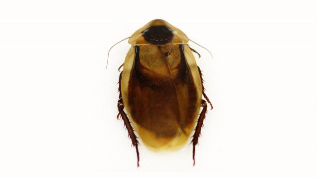 Blaberus-discoidalis