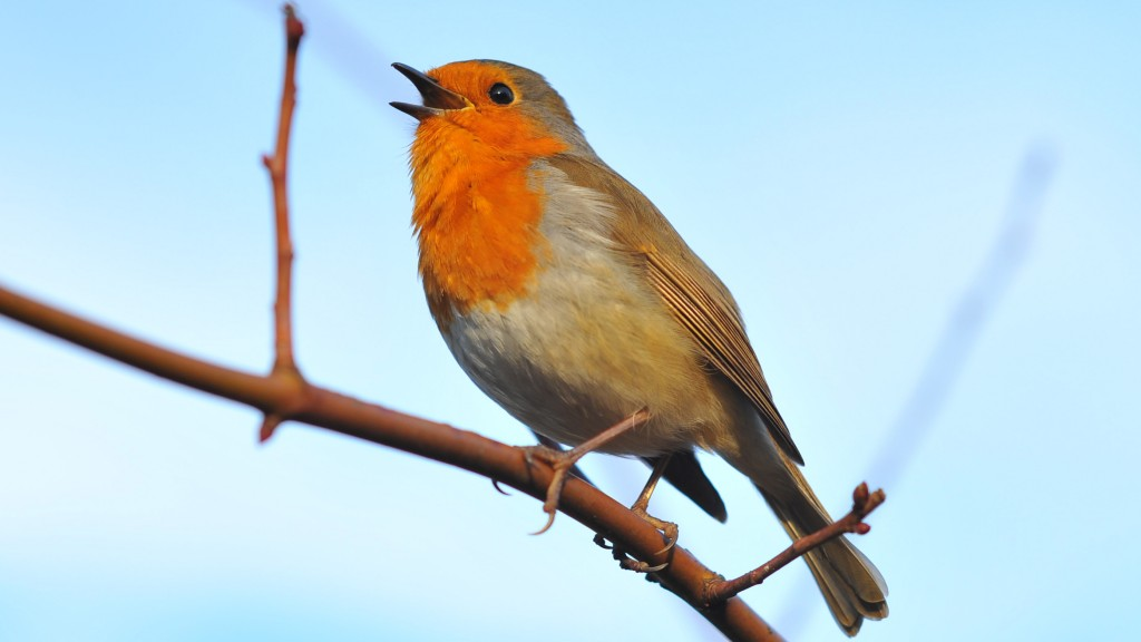 singing-robin