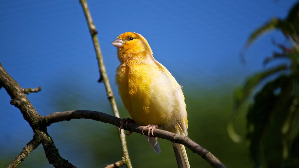 yellow-canary