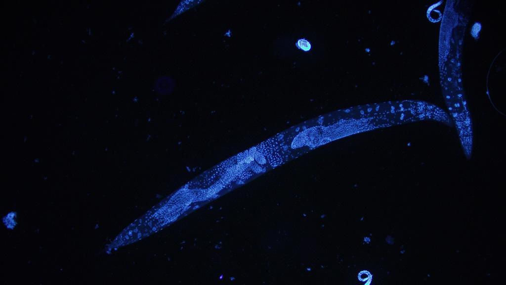 c-elegans-1024x576