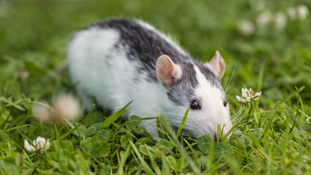 female-mice
