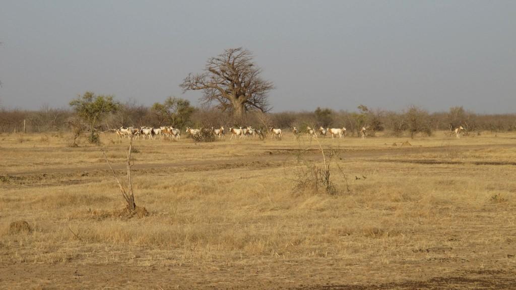 ferlo-scimitar-horned-oryx