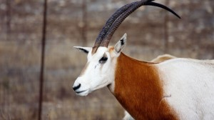 scimitar-horned-oryx