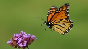 monarch-in-flight