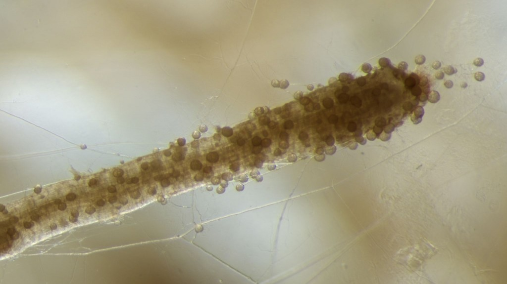 mycorrhizae-on-root