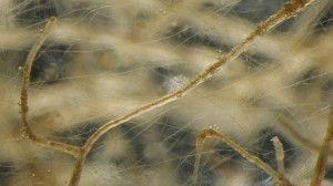 mycorrhizal-network