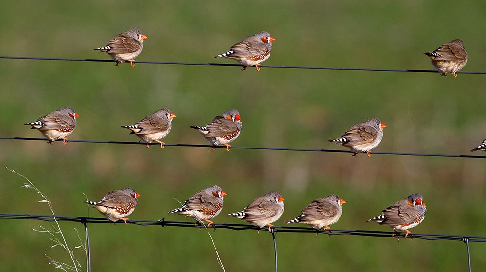 zebra-finches-on-wires