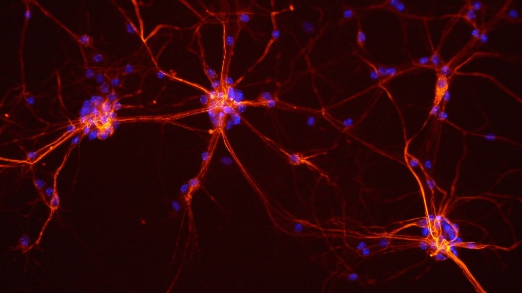 mouse-spinal-cord-neurons
