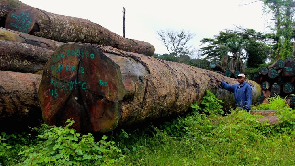 gimba forest logging