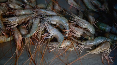 wholesale shrimp