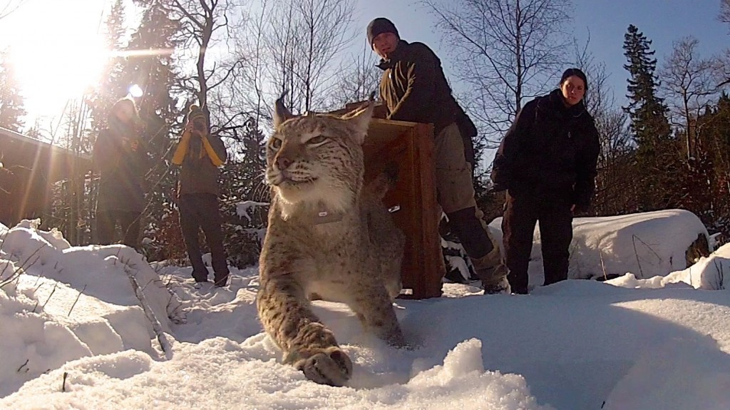Lynx Release Harz National Park Germany