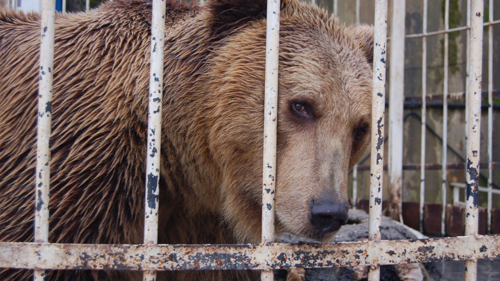 caged bear behind cafe in Tirana Albania