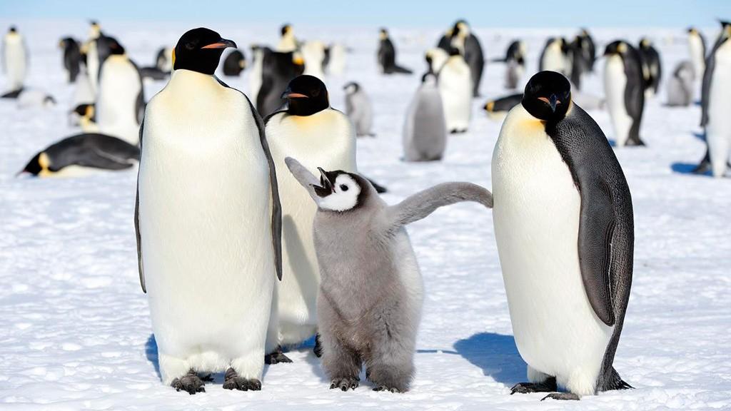 Bitter Cold May Have Rendered Penguins Taste Buds Obsolete Nova