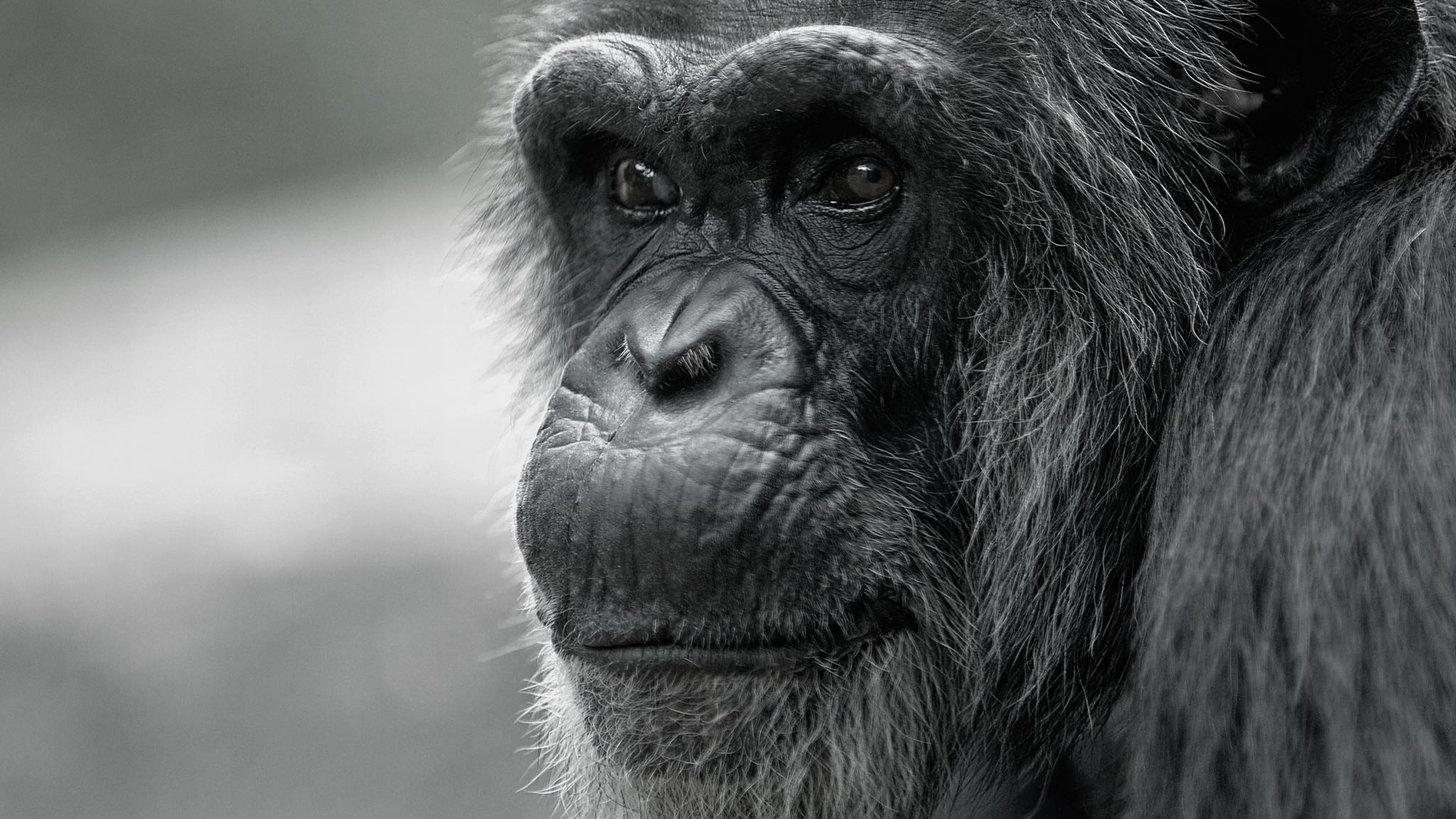 Chimpanzee pictures chimpanzees are all black but - Chimpanzees Granted Habeas Corpus A Right Normally Reserved For Humans Updated