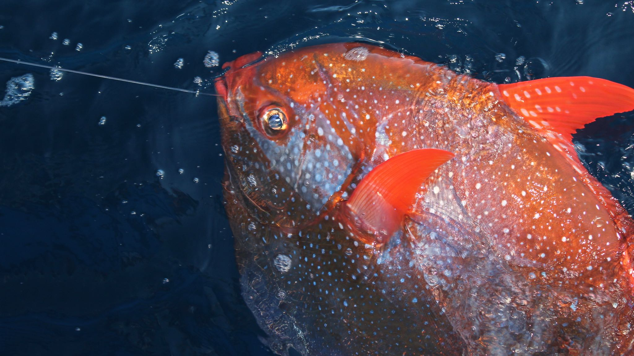 Only known truly warm blooded fish swims like a bird for Deep water fish