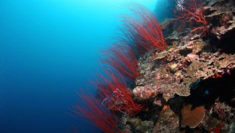 palau-whip-corals