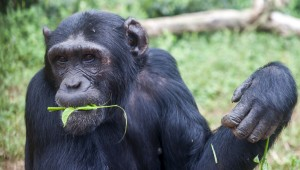 Female chimp Pasa, is photographed eating leaves in the Ngamba Island Chimpanzee Sanctuary in Lake Victoria, Uganda. Pasa, who has been on Ngamba Island since 2000, was surrendered to UWEC by a man from Arua who realized that he had broken the law by buying the infant chimp from a Congolese trader two weeks earlier. Pasa was named after the 'Pan African Sanctuary Alliance' which was formed during a workshop held in Entebbe at the time of her confiscation. This Alliance is working together to try and stop the root cause of the chimpanzee-orphan-crisis (bush meat trade and habitat destruction) She was approximately 6 months old on arrival so she needed 24- hour human care until she was strong enough to join the juvenile group on Ngamba. Pasa is now very settled but she still enjoys contact with her human caregivers, especially during the walk in the forest. 03/15 Julia Cumes/IFAW
